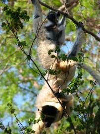 Verreaux sifaka, Madagascar 2013