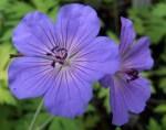 blue-geranium