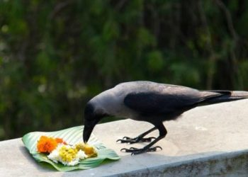 Culture Watch : KAAWE PUNIM - THE FESTIVAL OF CROWS