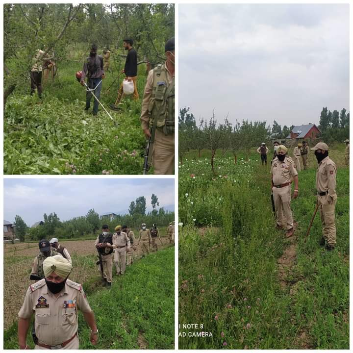 Kulgam police continue its drive for destroying illegal poppy cultivation; destroys poppy cultivation spread over 17 Kanals of land