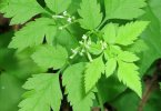 sweet cicely - therecipe.website