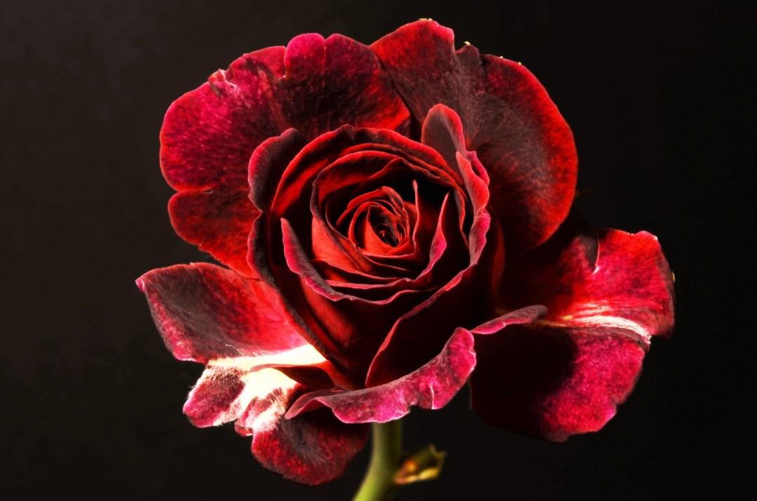blooming-rose