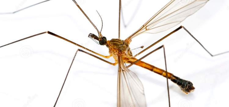 World's biggest mosquito found, enters Guinness Records