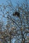 Nest in flowering tree