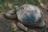 Aldabran Tortoise