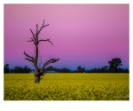 Canola fields in Wagga Wagga with a pinky sunset.