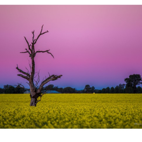 limited-edition--20x16inches--canola