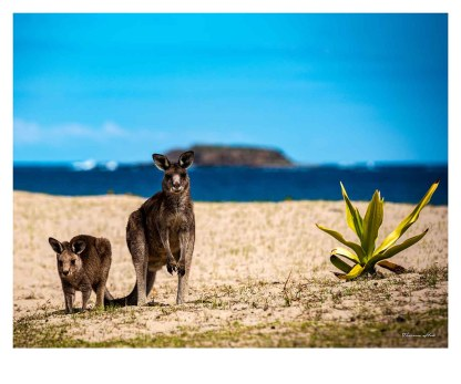 Kangaroos on Pebbly Beach, New South Wales, Australia