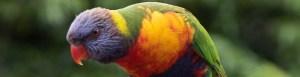 Australian Rainbow Lorikeet at Pebbly Beach, South Coast, New South Wales, Australia.