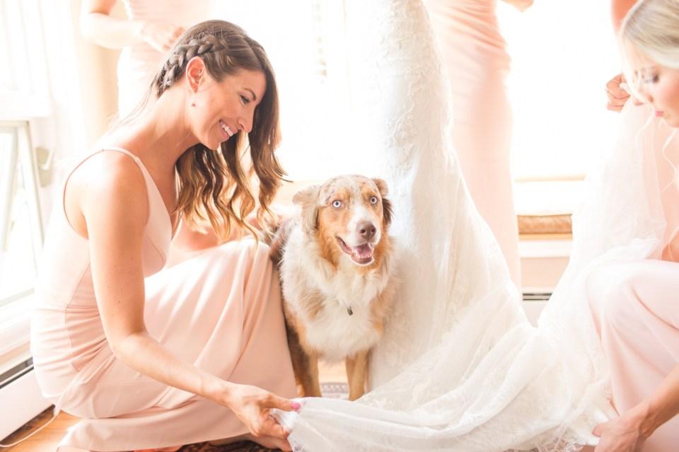 Australian Shepherd on wedding day.