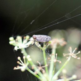 Tiny froghopper