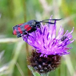 Burnet moth badly damaged