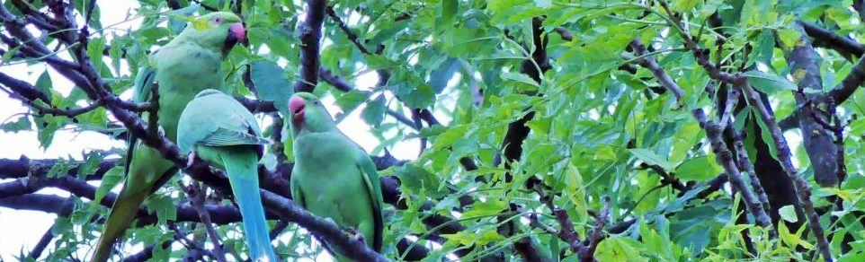 Parakeets in the Ash Tree