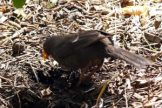 170320-GIB-1441-Blackbird female