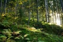 Die Letzten Sonnenstrahlen im Wald.