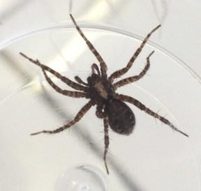 Wolf spider (Pardosa sp.)