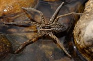 A Fishing Spider with two legs missing. [Credit: Flagstaffotos]