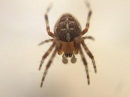 Common garden spider, Araneus diadematus.