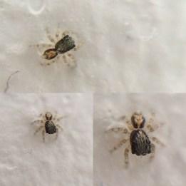 Jumping spider (Salticidae) spiderling!