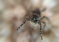 Jumping spider (Salticidae; unknown sp.)