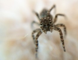 Jumping spider (Salticidae; not sure of species)