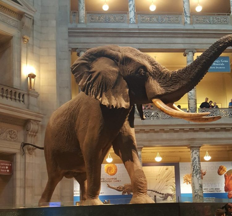 At the Smithsonian Institute National Museum of Natural History, you can see life-size replicas of wild animals!