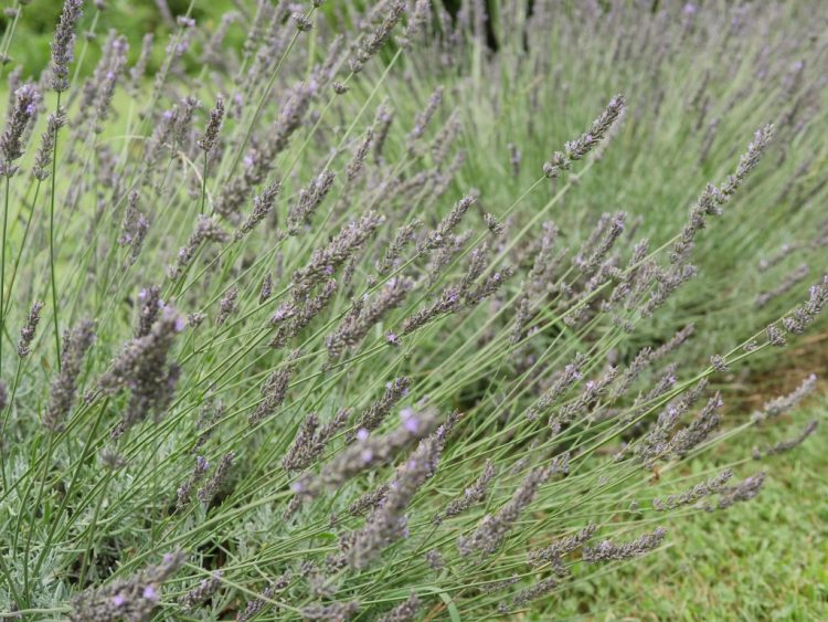 Close up photo of lavender at Soleado Lavender Farm
