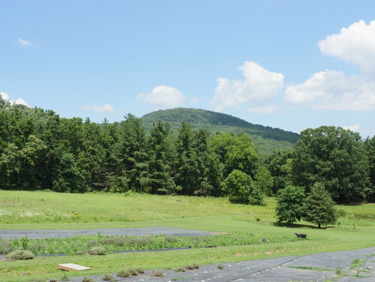 At Soleado Lavender Farm, you have an up-close view of Sugarloaf Mountain, which is part of the Blue Ridge Mountains.