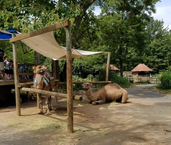 Check out these camels resting at Catoctin Zoo in Maryland. Did you know you can ride camels at the Catoctin Zoo?