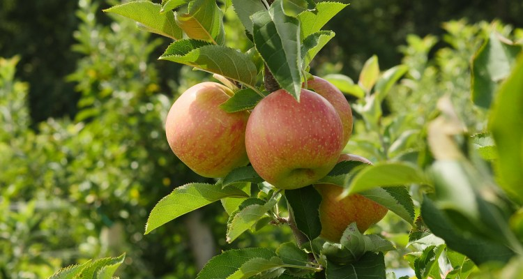 Fall Harvest - apples in season in Maryland