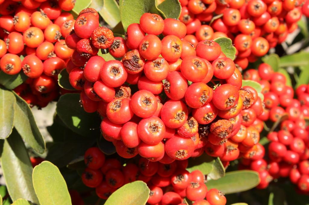Berries in Westlake