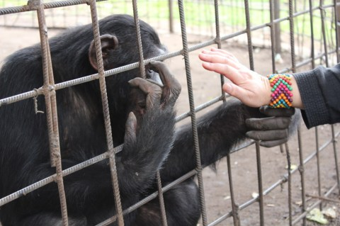 Leslie with Chimp