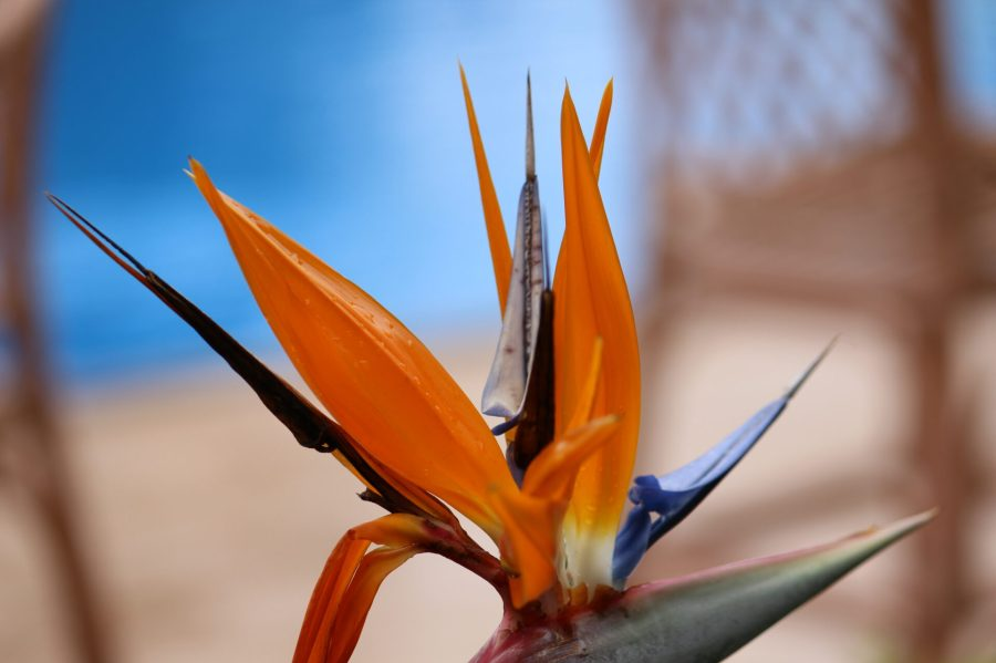 Rwandan Bird of Paradise