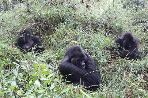 Titan Gorillas
