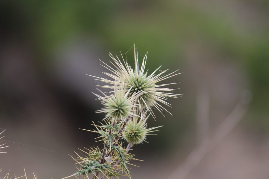 Crazy Thorns