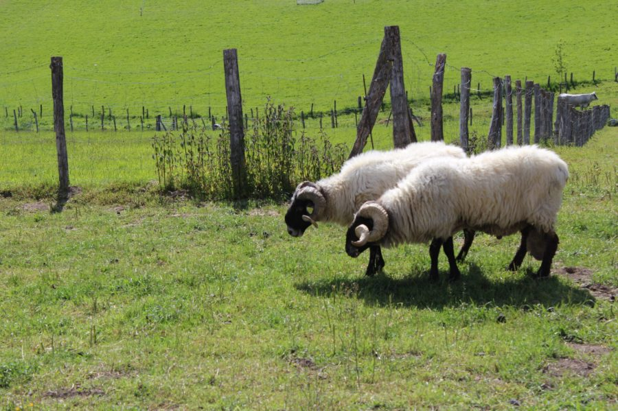 Sheep on St. James Road
