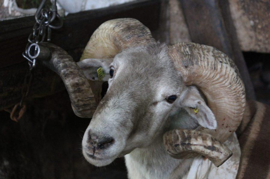Zumaia - Jesuskoa Farm Goat