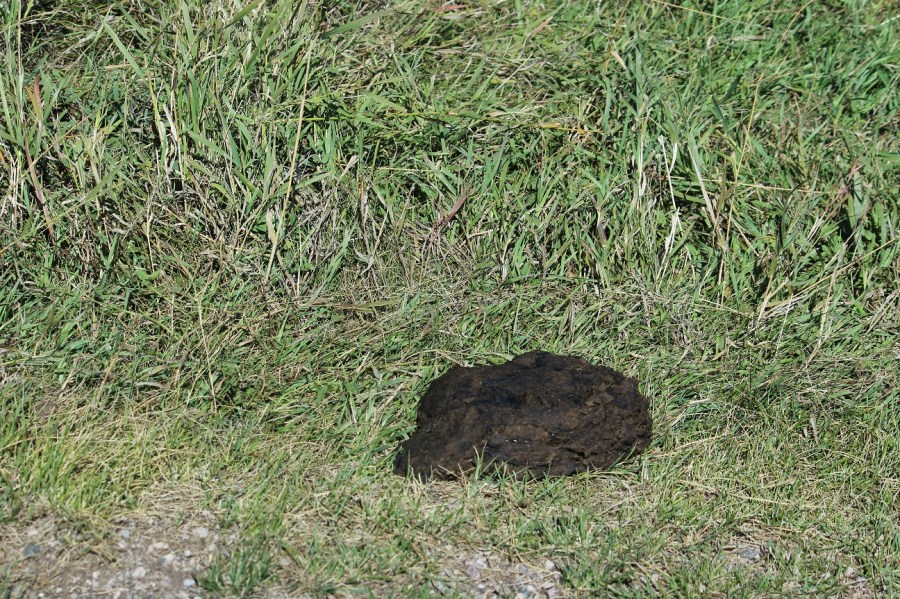 Buffalo Poop