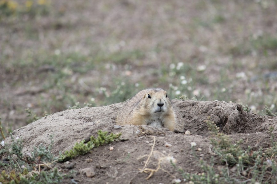 Prairie Dog in the Badlands