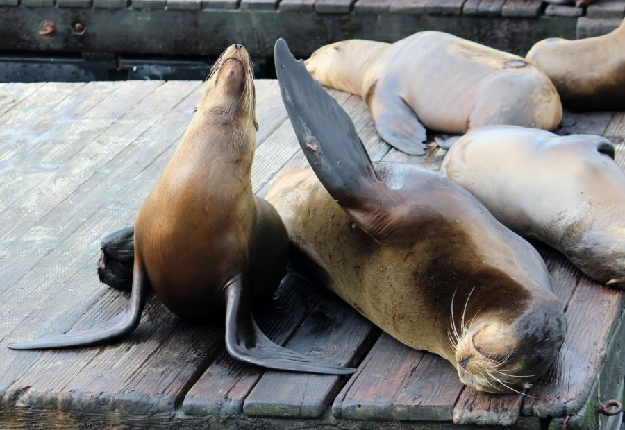 Exploring San Francisco's waterfront - sea lions!