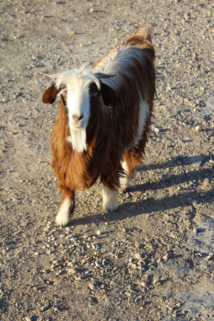 Omani mountains - goat