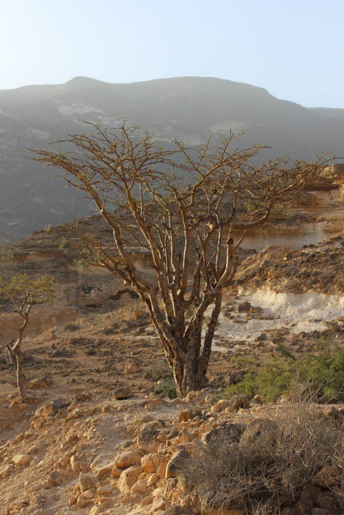 Frankincense tree south of Salalah
