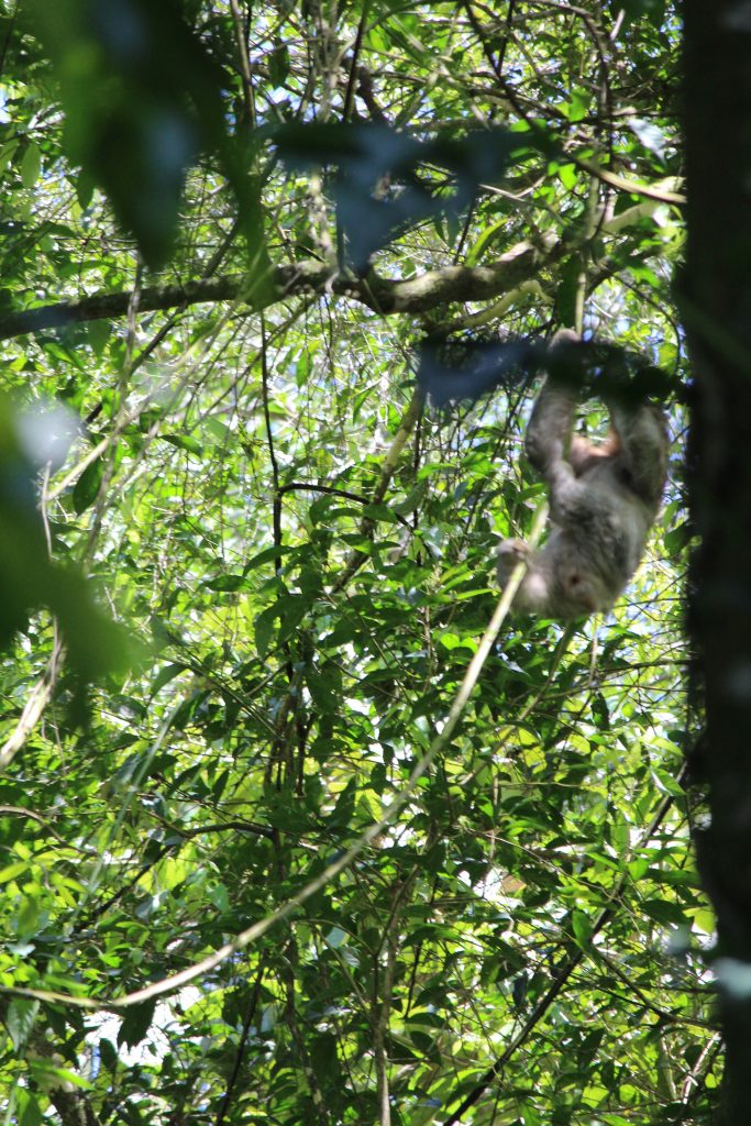 Three-Toed Sloth at the ecotourism center