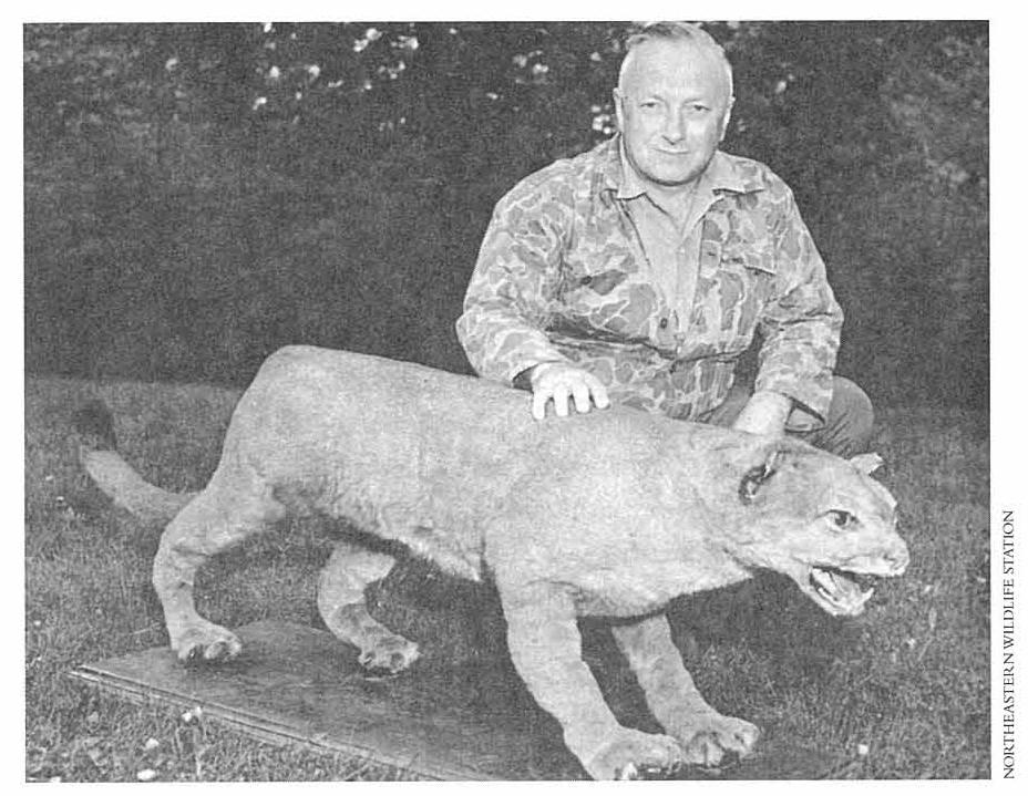 Puma timur (Puma concolor cougar)