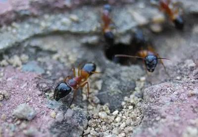 Where do sugar ants live