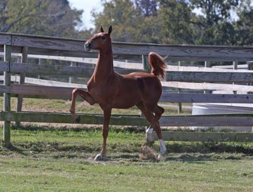 American Saddlebred – American Saddle Horse