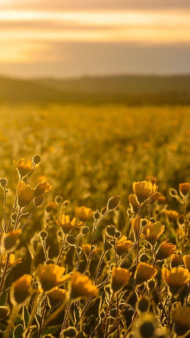 Yellow Sunrise on a Field