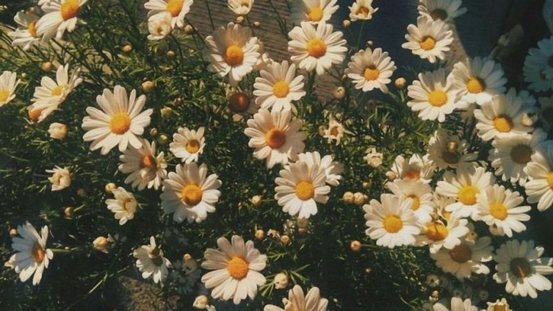 Yellow Daisies: Wallpaper and Aesthetic for Spring, The Season of Creation