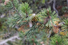 Mystery pine cones - only come to life after a forest fire