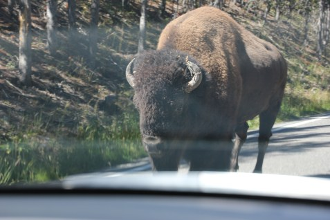 Big Bison uBetcha!